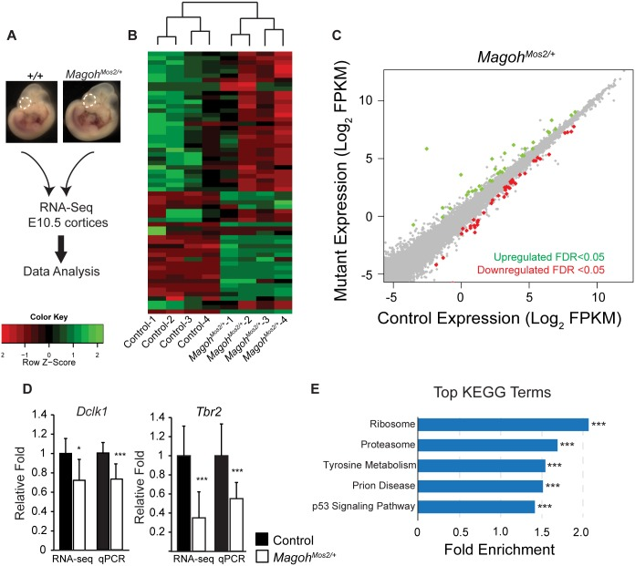 Transcriptome analyses of E10.5 Magoh germline haploinsufficient brains identifies alterations in ribosome and p53 signaling pathways. (A) Diagrammatic overview of RNA sequencing analysis of E10.5 neocortices (dotted lines) from indicated genotypes. (B) Heatmaps showing z-score transformed normalized expression for control and Magoh Mos2/+ . Genes and samples were clustered using correlation distance with complete linkage. (C) Scatter plot of transcripts significantly upregulated (green dots) and downregulated (red dots) in E10.5 Magoh Mos2/+ cortices ( q