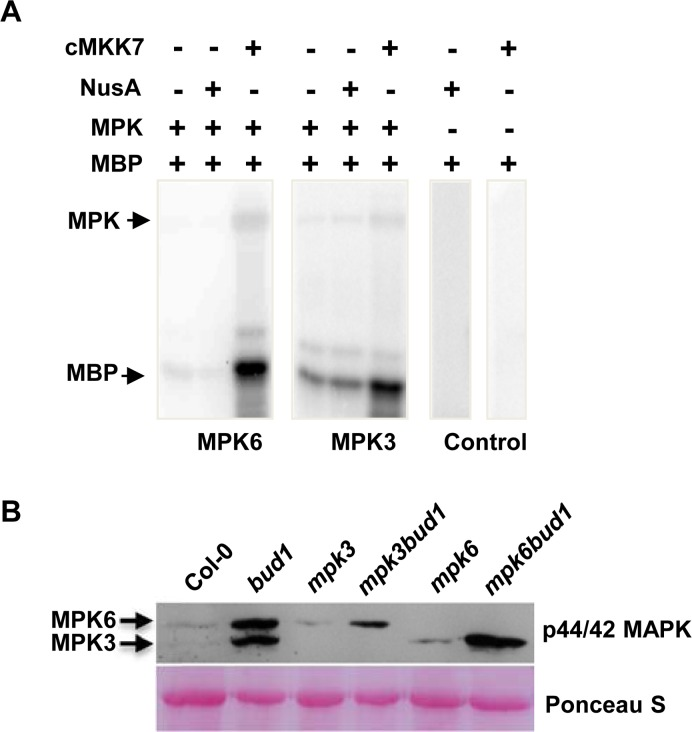 MKK7 can phosphorylate MPK3 and MPK6 in vitro and in vivo. (A) In vitro kinase assays of phosphorylation of MPK3 and MPK6 by constitutively activated MKK7 (cMKK7). The cMKK7 was incubated with MPK3 or MPK6 in the kinase reaction buffer. Aliquots of the samples were separated by SDS-PAGE and subjected to autoradiography. Arrows indicate positions of the detected proteins. (B) Phosphorylation of MPK3 and MPK6 in planta . Samples were prepared from 21-d-old seedlings and subjected to immunoblot analysis with antiphospho-p44/p42 antibody. The Ponceau-stained western blot was used as the loading control.