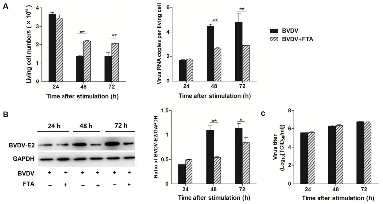 Effect of FTA on BVDV replication and virion infectivity. (A) The number of living cell (left panels) and virus copies per cell (right panels) at 24, 48, and 72 h after simulation. The number were counted with Trypan blue stain and the virus copies per living cells were measured by absolute quantitative real-time PCR for amplifying the 5' UTR. (B) The BVDV-E2 protein express by western blot (left panels) and ratio of E2 band intensity to that of GAPDH (right panels). BVDV E2 protein in PBMCs was collected from the indicated PBMCs cultures at 24, 48, and 72 h after stimulation. Expression of GAPDH was measured as an internal control. (C) BVDV titers in supernatants of PBMCs treated with BVDV or BVDV and FTA at 24, 48, and 72h. Data are presented as the means ± SEM of three independent experiments. * P