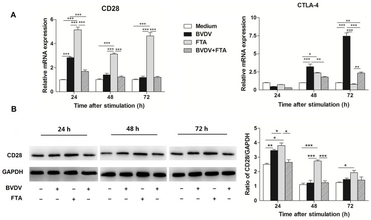 Effect of FTA on the expression of CD28 and CTLA-4 in bovine PBMCs infected with BVDV. (A) Relative mRNA expression of CD28/CTLA-4 cultured with medium alone, FTA, BVDV, and BVDV plus FTA at 24, 48, 72 h in bovine PBMCs. (B) The CD28 protein express by western blot (left panels) and ratio of CD28 band intensity to that of GAPDH (right panels). CD28 protein in PBMCs was collected from the indicated PBMCs cultures at 24, 48, and 72 h after stimulation. Expression of GAPDH was measured as an internal control. Data are presented as the means ± SEM of three independent experiments. * P