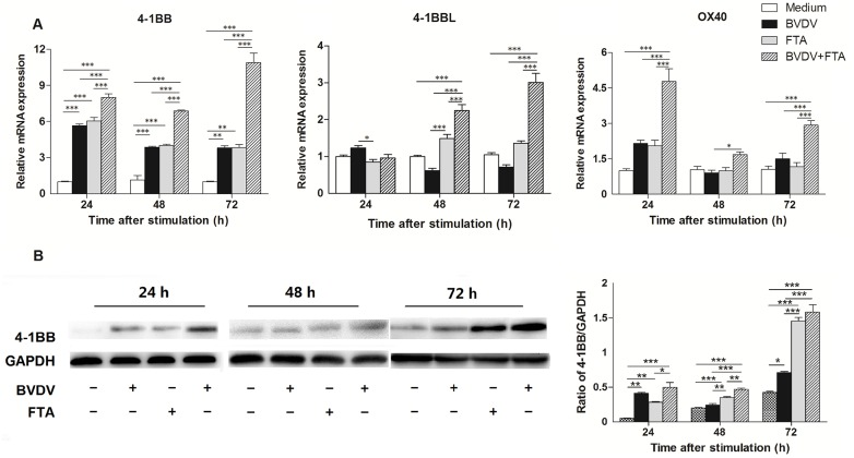 Effect of FTA on the expression of OX40, 4-1BB, and 4-1BBL in bovine PBMCs infected with BVDV. (A) Relative mRNA expression of OX40, 4-1BB, and 4-1BBL cultured with medium alone, FTA, BVDV, and BVDV plus FTA at 24, 48, 72 h in bovine PBMCs. (B) The 4-1BB protein express by western blot (left panels) and ratio of 4-1BB band intensity to that of GAPDH (right panels). 4-1BB protein in PBMCs was collected from the indicated PBMCs cultures at 24, 48, and 72 h after stimulation. Expression of GAPDH was measured as an internal control. Data are presented as the means ± SEM of three independent experiments. * P
