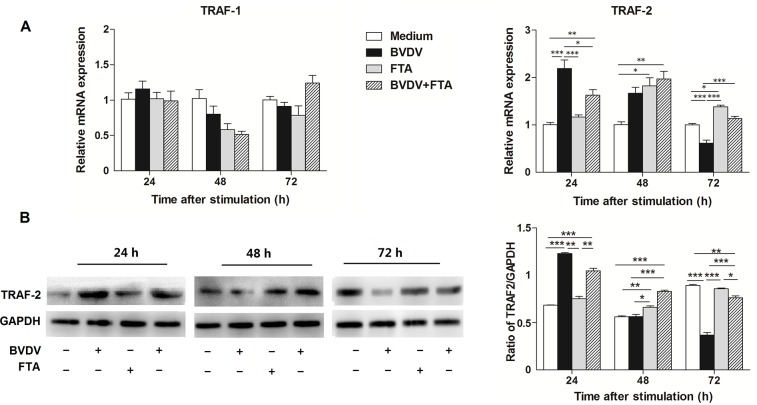 Effect of FTA on the expression of TRAF1 and TRAF2 in bovine PBMCs infected with BVDV. (A) Relative mRNA expression of TRAF-1 and TRAF-2 cultured with medium alone, FTA, BVDV, and BVDV plus FTA at 24, 48, 72 h in bovine PBMCs. (B) The TRAF-2 protein express by western blot (left panels) and ratio of TRAF-2 band intensity to that of GAPDH (right panels). TRAF-2 protein in PBMCs was collected from the indicated PBMCs cultures at 24, 48, and 72 h after stimulation. Expression of GAPDH was measured as an internal control. Data are presented as the means ± SEM of three independent experiments. * P