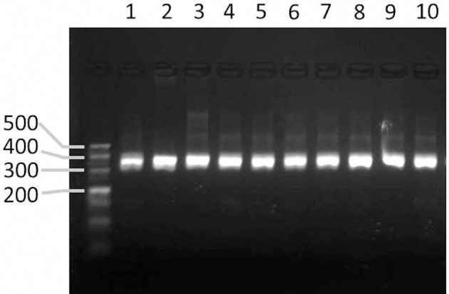 Agarose gel image showing the PCR products amplified from markers designed by GMATA . Lanes 1–10 represent the PCR amplicons from the DNA of tobacco species or varieties N. sylvestris, N. tomentosiformis, N. tabacum HD, N. tabacum K326, and N. benthamiana and N. tabacum varieties Yunyan-85, Yunyan-97, Zhongyan-100, KRK26 and CB-1.