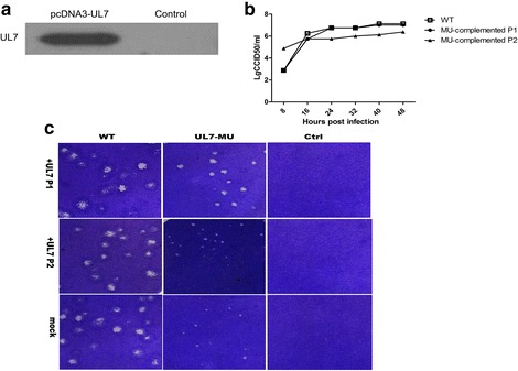 The mutated phenotype of UL7-MU is complemented by expression of the UL7 gene in cells. a The lysates of Vero cells transfected with the pcDNA3-UL7 plasmid were separated on a 12 % polyacrylamide gel, transferred to a PVDF membrane, and immunoblotted with UL7 antibody. The position of the UL7 protein is indicated. b Morphological features of plaques formed by the complemented UL7-MU and WT viral strains. Cells were infected at 24 h post-transfection with UL7-MU or WT virus at an MOI of 1. The supernatants and cells of the complemented virus were harvested after CPE was observed, followed by plaque assays. Vero cells were infected with MU-complemented P1, WT-control P1, MU-complemented P2, WT-control P2 or HSV-1 WT at an MOI of 0.00001. The cells were fixed and stained 3 d p.i. c Dynamic profiles of the MU-complemented P1 and MU-complemented P2 viral strains at 37 °C. Vero cells were infected with the MU-complemented P1 (filled circles), MU-complemented P2 (filled triangles) or HSV-1 WT (open boxes) at an MOI of 1. The supernatants and cells were harvested at the indicated time points, and the lysates were titered on Vero cells