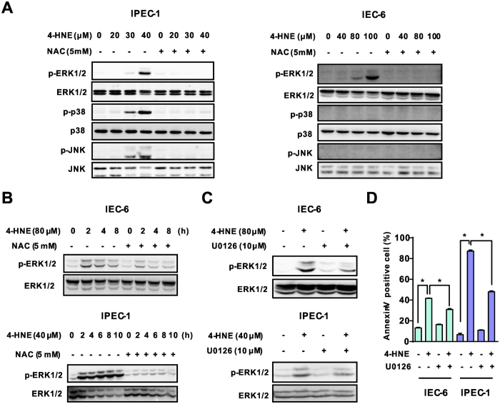Modulating of ERK1/2 activation was responsible for the apoptotic effect induced by 4-HNE. ( A ) Western blot analysis of MAP kinase expression in intestinal epithelial cells. Cells pretreated with NAC (5 mM, 2 h) were exposed to 4-HNE (80 μM for IEC-6 and 40 μM for IPEC-1) for 8 h, the protein levels of ERK1/2, p-ERK1/2, p38 MAPK, p-p38 MAPK, JNK and p-JNK were determined using indicated antibodies. β-actin was used as the loading control. ( B ) Western blot analysis of ERK1/2 activation in a time dependent manner. Cells pretreated with NAC (5 mM, 2 h) were exposed to 4-HNE for different time periods. The protein levels of ERK1/2, and p-ERK1/2 were determined. β-actin was used as the loading control. ( C ) Western blot analysis of ERK1/2 activation in intestinal epithelial cells treated with 4-HNE in the presence or absence of U0126. Cells pretreated with U0126 (10 μM, 1 h) were treated with indicated concentrations of 4-HNE for 2 h. The protein levels of ERK1/2, and p-ERK1/2 were determined. β-actin was used as the loading control. ( D ) Inhibition of ERK1/2 activation blocked 4-HNE-induced cell apoptosis. Cells were treated with 4-HNE (80 μM for IEC-6 and 40 μM for IPEC-1) for 8h after U0126 pretreatment (10 μM, 1 h), and then cell apoptosis was determined by Facs analysis. Values are expressed as the mean ± SEM (n = 3), * p