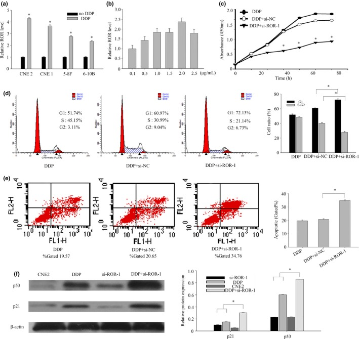 Lnc RNA ‐ ROR can improve the chemoresistance of nasopharyngeal carcinoma ( NPC ). (a) The expression levels of lnc RNA ‐ ROR in treated CNE 2 were measured by qRT ‐ PCR . (b) qRT ‐ PCR assays for lnc RNA ‐ ROR expression in CNE 2 cultured with DDP concentration gradient. (c) CCK 8 assays were used to determine the viability of si RNA ‐1 transfected CNE 2 cells with DDP . (d) Flow cytometry assays were performed to analyze the cell cycle progression. CNE 2 cells were first treated by DDP then transfected with negative control or si RNA ‐1 at the indicated concentrations for 24 h before harvesting for flow cytometry assays. (e) Flow cytometry assays were performed to analyze the cell cycle progression. CNE 2 cells were first treated by DDP then transfected with negative control or si RNA ‐1 at the indicated concentrations for 24 h before harvesting for apoptosis. (f) CNE 2 cells were transfected with control si RNA or si RNA ‐1 for 6 h, treated with DDP in 2.0 μg/mL. The cells were harvested for western blot at the indicated time points after DDP treatment. The same experiments were performed in triplicate. Data are mean ± SE . * P