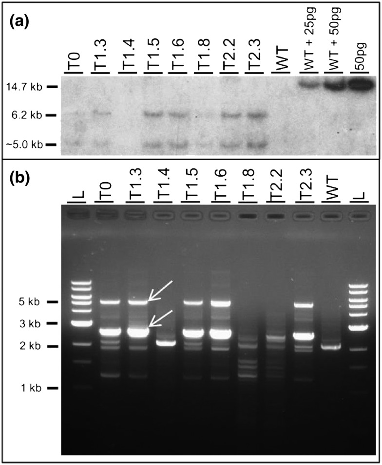 (a) Southern blot (b) TAIL‐PCR analyses for T 0 plant VPZ‐23, five segregating T 1 plants, two homozygous T 2 plants and wild type control (WT). The final three lanes show 25 and 50 pg digested VPZ plasmid DNA with 10 μ g of digested WT DNA and 50 pg of VPZ plasmid without WT DNA. Arrows in panel b indicate the bands that were absent in WT and show a size shift between reaction 2 and 3 in the TAIL‐PCR and scored in Table 1 . TAIL‐PCR was performed with AD3 and T‐DNA specific primers RB3.