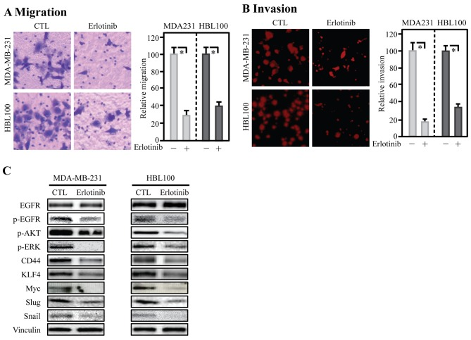 Inhibition of EGFR reduced migration and protein abundance of CD44, EMT and CSC-related genes. (A) Transwell assays were utilized to assess the migration. (B) Invasion ability was evaluated by an invasion kit. (C) Western blotting was employed to evaluate the protein levels of EGFR, p-EGFR, p-AKT, p-ERK, CD44, KLF4, Myc, Slug, Snail and Vinculin.
