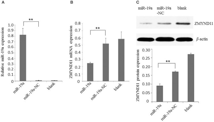 Gga-miR-19a inhibits ZMYND11 expression. (A) Over-expression of gga-miR-19a in DF-1 cells; (B) The level of ZMYND11 mRNA in DF-1 cells over-expressing gga-miR-19a was determined by RT-qPCR; (C) Western blot was performed to analyze ZMYND11 protein expression in DF-1 cells at 48 h post- transfection with gga-miR-19a. A mock transfection was used as the blank. GAPDH was used as an internal quantitative control. All values are represented as the mean ± SD of three independent experiments in triplicate. Significant differences are denoted as ** P