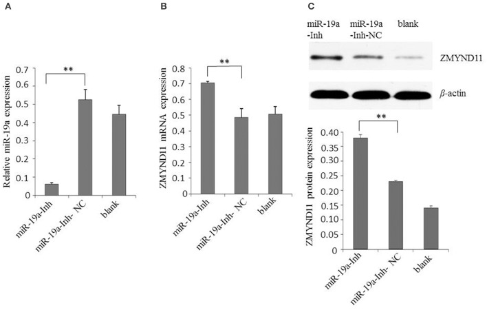 Inhibition of gga-miR-19a increases ZMYND11 expression. (A) Transfection of miR-19a-Inh reduced the expression of gga-miR-19a in DF-1 cells; (B) Transfection of miR-19a-Inh increased the expression of ZMYND11 in DF-1 cells; (C) Western blot was performed to analyze ZMYND11 protein expression in DF-1 cells at 48 h post-transfection with miR-19a-Inh. A mock transfection was used as the blank; the expression of GAPDH was used as a loading control. All values are represented as the mean ± SD of three independent experiments in triplicate. Significant differences are denoted as ** P