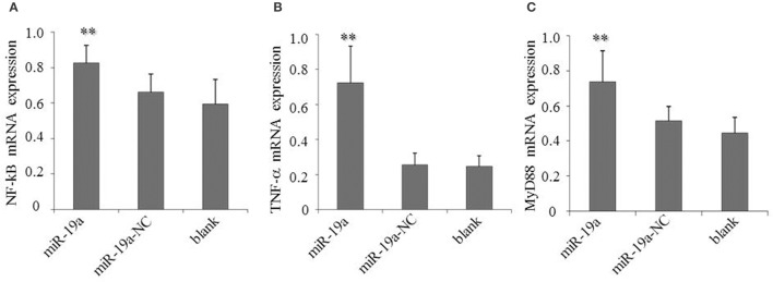 Over-expression of gga-miR-19a activates NF- κ B, TNF- α and MyD88 in DF-1 cells transfected with gga-miR-19a or the negative control . A mock transfection was used as a blank. At 48 h post-transfection, the expression of NF- κ B (A) , TNF- α (B) , and MyD88 (C) were measured by RT-qPCR. A mock transfection was used as the blank. All samples were normalized to GAPDH . All values are represented as the mean ± SD of three independent experiments in triplicate. Significant differences are denoted as ** P