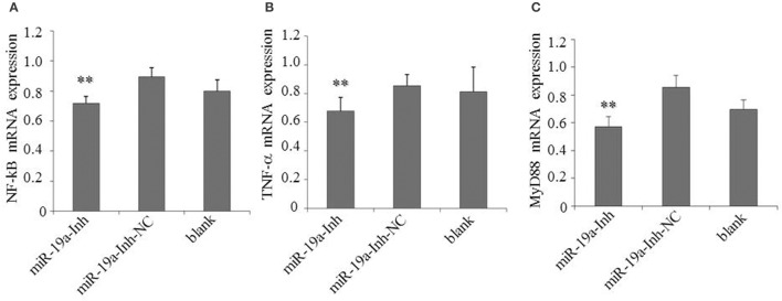 Inhibition of gga-miR-19a reduces NF- κ B, TNF- α and MyD88 expression . DF-1 cells were transfected with miR-19a -Inh or the negative control. At 48 h post-transfection, the expression of NF- κ B (A) , TNF- α (B) and MyD88 (C) were measured by RT-qPCR. A mock transfection was used as the blank, and the expression of GAPDH was used as a loading control. All values are represented as the mean ± SD of three independent experiments in triplicate. Significant differences are denoted as ** P