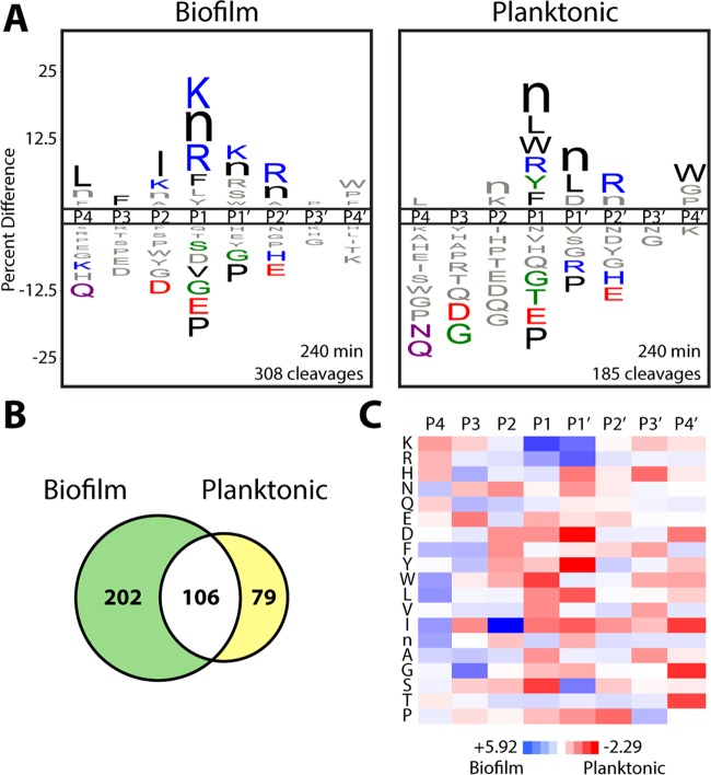 """Wild-type C. albicans has distinct global protease substrate specificity profiles under biofilm and planktonic growth conditions. (A) iceLogo substrate specificity representations for 24-h conditioned medium from wild-type C. albicans (SN425) following 240 min of incubation with the MSP-MS peptide library ( P ≤ 0.05 for residues colored by physicochemical property; """"n"""" is norleucine). Specificity was determined with equivalent protein amounts from each condition. Specificity profiles for the 15- and 60-min assay time points are provided in Fig. S1 in the supplemental material. (B) Quantification of the total shared and unique cleavages for the biofilm and planktonic conditions at the 240-min assay time point. (C) Heat map representation of biofilm and planktonic specificity differences at the 240-min time point calculated by using Z score differences at the P4-P4′ positions. Biofilm-favored residues are blue ( Z score, > 0), and planktonic-favored residues are red ( Z score,"""