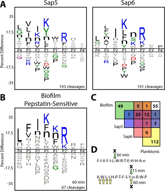 Global protease substrate specificity profiling reveals that Sap5 and Sap6 activities are highly increased in C. albicans under biofilm growth conditions. (A) iceLogo representations of recombinantly produced Sap5 and Sap6 following 240 min of incubation with the MSP-MS peptide library ( P ≤ 0.05 for residues colored by physicochemical property). Further comparison of Sap5 and Sap6 specificity is shown in Fig. S4 in the supplemental material. (B) iceLogo representation of cleavages from the C. albicans biofilm conditioned medium MSP-MS assay that are sensitive to pretreatment with the aspartyl protease inhibitor pepstatin A (10 µM). (C) Assignment of pepstatin-sensitive cleavages in the biofilm and planktonic profiles through comparison to recombinantly produced Sap5 and Sap6. The biofilm (60 min) and planktonic (240 min) time points were chosen to normalize for the higher total proteolytic activity under the biofilm condition. iceLogo representations for unassigned cleavages are distinct from the Sap5 and Sap6 specificity profiles and are provided in Fig. S5 in the supplemental material. (D) Example peptide cleavages from the biofilm (green arrows) and planktonic (yellow arrows) MSP-MS assays are shown with pepstatin-sensitive cleavages indicated by an X and the time point of first appearance noted. Selected cleavages were omitted for clarity. All MSP-MS cleavages identified are provided in Data Set S1 in the supplemental material.