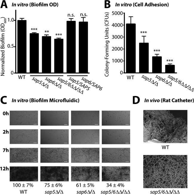 Deletion of SAP5 and SAP6 impairs C. albicans biofilm formation under in vitro growth conditions and in vivo in a rat central venous catheter biofilm model. (A) Biofilm formation in Spider medium after 24 h of growth of the wild-type (WT) reference (SN250) and sap5 Δ/Δ, sap6 Δ/Δ, and sap5/6 ΔΔ/ΔΔ deletion strains. OD 600 readings were measured for adhered biofilms after removal of the medium and normalized to the wild-type strain (OD 600 set to 1.0), and the mean ± SD is shown ( n = 4 for each strain). OD 600 measurements of the sap5 , sap6 , and sap5/6 deletion strains deviated significantly from those of the reference strain (**, P