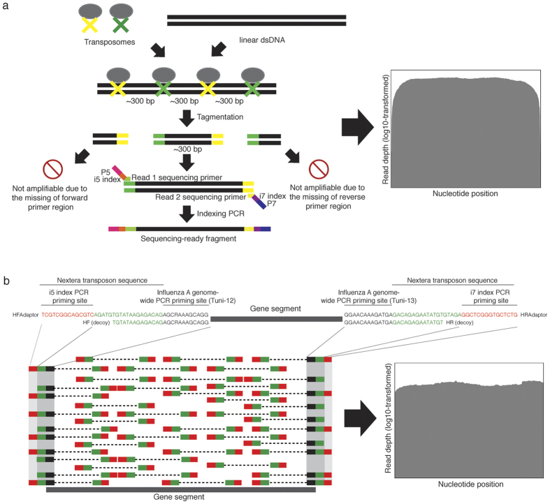 Optimization of the DNA library generation by introducing decoy PCR primers to produce full-length influenza A/H3N2 sequences with even coverage. ( a ) The existing protocol for Nextera XT library preparation on targeted amplicons. Low sequencing read depths were typically found at both 5′ and 3′ ends of the amplicons. ( b ) The direct integration of the transposon sequences to the Tuni-12 and Tuni-13 primer sequences and inclusion of decoy primers during the initial genome-wide PCR before the Nextera XT library preparation. This increases the read depths at both ends of the amplicons.