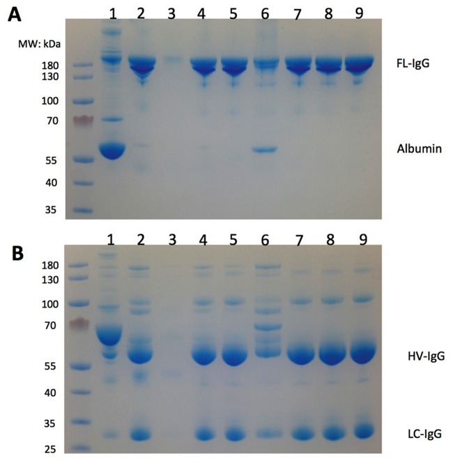 SDS-PAGE profile of anti-human platelet antigen (HPA)-1a fractions generated throughout the purification process. A: Non-reducing conditions; B: reducing conditions. 1: cryoprecipitate-poor plasma; 2: caprylic acid supernatant; 3: S HyperCel breakthrough; 4: S HyperCel eluate; 5: HyperCel STAR-AX breakthrough; 6: HyperCel STAR-AX eluate; 7: after nanofiltration; 8: after concentration; 9: final fraction after dialysis. The left lane shows molecular weight markers. Staining was with Coomassie blue. FL-IgG, intact whole IgG; HC-IgG, heavy-chain IgG; LC-IgG, light-chain IgG.