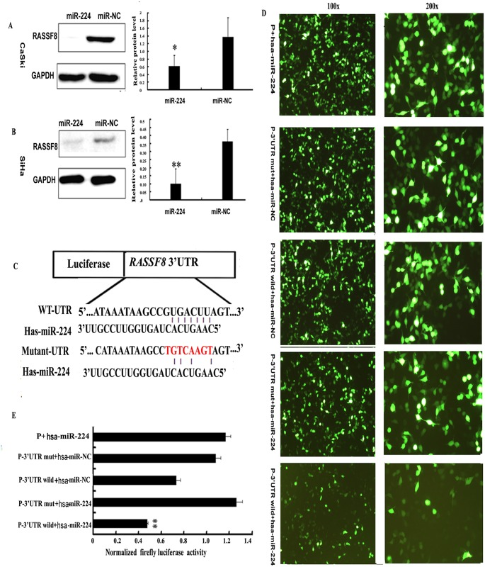miR-224 suppressed RASSF8 expression and directly targeted 3'UTR of RASSF8 mRNA. (A,B) At 72h after transfected with 100 nM of miRNA mimic and negative control, the endogenous protein levels of RASSF8 in SiHa and CaSki cells were measured by western blot. Bars indicated the relative protein levels that were normalized to GAPDH. Data were presented as mean±s.d. (n¼3) *P