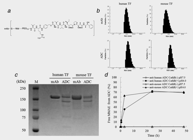 Preparation and characterization of ADCs. ( a ) Structure of ADC. Approximately three molecules of MMAE were conjugated to one antibody by a valine‐citrulline dipeptide linker. ( b ) Particle size of mAbs and ADCs. The mean particle sizes of mAbs were 9.5 nm (anti‐human mAb) and 7.6 nm (anti‐mouse mAb) and the mean particle sizes of ADCs were 12.0 nm (anti‐human ADC) and 12.6 nm (anti‐mouse ADC). ( c ) SDS‐PAGE of mAbs and ADCs. M: molecular markers. D) Releasing of MMAE from ADCs. The rates of free MMAE released from the anti‐human and ‐mouse ADCs in an acidic buffer with cathepsin B at 37 °C for 24 hr was 72.2% and 70.8%, respectively. None of the free MMAE was released from both the anti‐human and ‐mouse ADCs in a neutral buffer without cathepsin B at 37 °C for up to 48 hr.