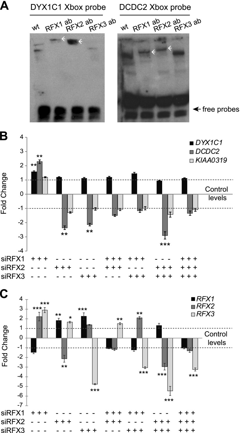 Knockdown of RFX1 , RFX2 , and RFX3 affect the expression of <t>DYX1C1</t> and DCDC2 but not KIAA0319 in hTERT-RPE1 cells. A ) Binding of RFX1 and RFX2 to the X-box motifs present in DYX1C1 and DCDC2 promoters. Biotinylated probes spanning the X-box motifs were incubated with nuclear extracts from serum-starved hTERT-RPE1 cells with or without antibodies (ab) against RFX1, RFX2, and RFX3. Supershifts for both probes were detected for RFX1 and RFX2 antibodies (white arrowheads). One representative experiment of 3 is shown. B ) Fold-change differences in the expression of DCGs upon knockdown of RFX TFs. By using siRNA against RFX1 , RFX2 , and RFX3 , alone or in different combinations, genes were silenced in hTERT-RPE1 cells. Cells were thereafter starved for 24 h to induce ciliogenesis, and expression levels of DYX1C1 , DCDC2 , and KIAA0319 were measured by using qRT-PCR. C ) Fold-change difference in expression levels of RFX1 , RFX2 , and RFX3 upon siRNA silencing. qRT-PCR data are summarized by using the ΔΔC t method as displayed as mean fold-change (2 −ΔΔ Ct or −2 ΔΔ Ct ) ± sem . Significance of the post hoc tests after ANOVA is presented as *** P ≤ 0.001, ** P ≤ 0.01, * P ≤ 0.05 after multiple correction of simultaneous comparisons.