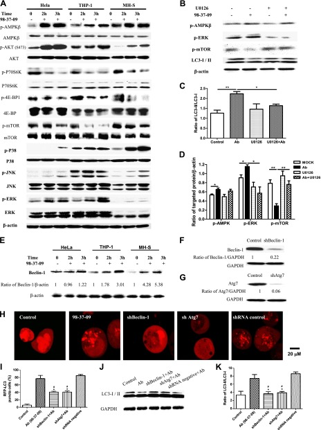 A. baumannii induced Beclin-1–dependent autophagy via the AMPK/ERK/mTOR pathway. A ) HeLa, THP-1, and MH-S cells were infected with strain 98-37-09 (multiplicity of infection = 10:1). Western blotting for AMPK, p-AMPK, Akt, p-Akt, mTOR, p-mTOR, p70S6K, p-70S6K, 4E-BP1, p-4E-BP1, ERK, pERK, p-JNK, JNK, p-P38, P38, and LC3 was performed by using proteins from the 98-37-09–infected HeLa, THP-1, and MH-S cells. B ) HeLa cells were infected with strain 98-37-09 for 2 h and pretreated with U0126 (10 μM) for 1 h. Western blotting for p-AMPKβ, p-ERK, and p-mTOR was performed. C ) The ratio of LC3II/I was calculated. D ) The ratio of p-AMPKβ, p-ERK, and p-mTOR to β-actin was calculated. E ) Western blotting of Beclin-1 in 98-37-09–infected HeLa, THP-1, and MH-S cells. F , G ) Western blotting of Beclin-1 ( F ) and Atg7 ( G ) in HeLa cells. H ) HeLa cells were transfected with pmRFP-LC3 plasmid for 24 h and then transfected with the shRNA negative control, shBeclin-1, or shAtg7 plasmids for 48 h before cells were infected with strain 98-37-09 for 2 h. Confocal images show the induction of the LC3 puncta. I ) The number of puncta in each cell was determined, and cells with > 10 puncta were considered LC3-RFP puncta cells. Data are representative of 100 cells. J , K ) Western blotting for LC3 was performed. GAPDH, glyceraldehyde 3-phosphate dehydrogenase. Data are representative of 3 experiments with similar results. * P
