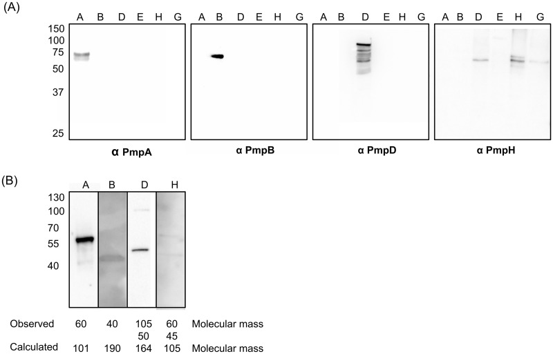 Guinea pig polyclonal antibodies against PmpA, B, D and H are specific for their respective immunizing antigens. (A) The specificity of polyclonal antibodies raised against rPmpA (anti-PmpA), rPmpB (anti-PmpB), rPmpD (anti-PmpD) and rPmpH (anti-PmpH) was verified by immunoblotting using (A) partially purified recombinant PmpA, B, D, E1, G3 and H as well as (B) density gradient purified EBs of C . psittaci Cal10. The calculated molecular masses of recombinant PmpA, PmpB, PmpD, PmpE1, PmpH and PmpG3 are 92 kDa, 74 kDa, 95 kDa, 74 kDa, 88 kDa and 60 kDa, respectively. The observed molecular masses were 75 kDa, 74 kDa, 95 kDa, 70 kDa, 75 kDa and 60 kDa, respectively. (B) The calculated and observed molecular masses of the protein bands detected in EBs are shown.