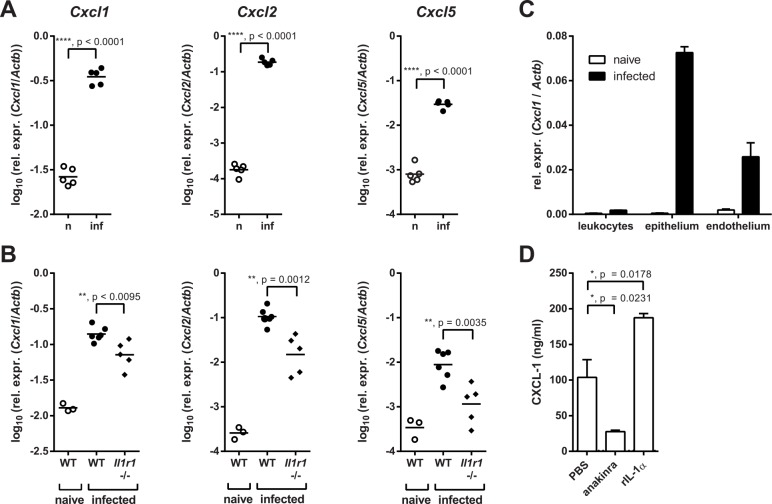 Neutrophil-recruiting chemokines in the oral mucosa are reduced in absence of IL-1R signaling. ( A ) Chemokine expression in the tongues of naïve (n) and infected (inf) WT mice was measured by qRT-PCR 24 hours post-infection. ( B ) Chemokine expression in the tongues of naïve and infected WT and infected Il1r1 -/- mice 24 hours post-infection. ( C ) CD45 + leukocytes, CD45 - EpCAM + CD31 - epithelial cells, and CD45 - EpCAM - CD31 + endothelial cells were isolated from the tongues of naïve and infected WT mice by FACS sorting 24 hours post-infection, and Cxcl1 mRNA was quantified by qRT-PCR. ( D ) The tongue-derived keratinocyte (TDK) cell line was treated with recombinant <t>IL-1α</t> (20 ng/ml), anakinra (250 μg/ml), or PBS, and CXCL1 levels in the culture supernatant were determined by ELISA. Bar graphs show the group mean + SD. Data are representative of two (A, C–D) or pooled from two (B) independent experiments, with the exception of the naïve group in B, which is from one experiment. Statistical analysis was performed using log 10 transformation and Student's t-test with Welch's correction (A) or one-way ANOVA with Dunnett's test (B, D).