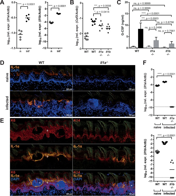 Keratinocyte-derived IL-1α regulates G-CSF production during OPC. ( A ) Il1a and Il1b mRNA was quantified in the tongues of naïve (n) and infected (inf) WT mice by qRT-PCR 24 hours post-infection. ( B–C ) WT, Il1a -/- and Il1b -/- mice were infected with C . albicans . Csf3 mRNA levels in naïve and infected tongue tissue were determined by qRT-PCR (B), and G-CSF serum levels were measured by ELISA (C) before infection (open bars) and 24 hours post-infection (closed bars). ( D ) Immunofluorescent staining of sagittal tongue sections from naïve and infected WT and Il1a -/- mice stained for IL-1α (yellow) and DAPI (blue) 24 hours post-infection. ( E ) Immunofluorescent staining of sagittal tongue sections from infected WT mice stained for keratin-6 (K6, left) or keratin-14 (K14, right) in red, as well as IL-1α (yellow) and DAPI (blue) 24 hours post-infection. Note that the IL-1α signal is absent in neutrophil-rich areas. The white arrow serves as orientation. ( F ) IL-1α and IL-1β mRNA expression in the tongues of naïve WT and infected WT, Il1a -/- and Il1b -/- mice was measured by qRT-PCR 24 hours post-infection. The detection limit, which was calculated using the average Ct ( Actb ) of all samples and Ct ( Il1a ) or Ct ( Il1b ) = 50, is depicted by a dotted line. Each symbol represents an individual mouse (A–B, F) and the lines represent the geometric mean of each group. The bar graph in C shows the group mean + SD. Data are representative of two independent experiments (A, D–E), or pooled from two independent experiments (B–C, F), with the exception of the naïve groups in C, which are the mean + SD of 4 (WT) or 3 ( Il1a -/- , Il1b -/- ) animals from one experiment. Statistical analysis was performed using log 10 transformation (A–B, F) and Student's t-test with Welch's correction (A), a one-way ANOVA with Dunnett's test (B, F) or two-way ANOVA with Tukey's test (C).