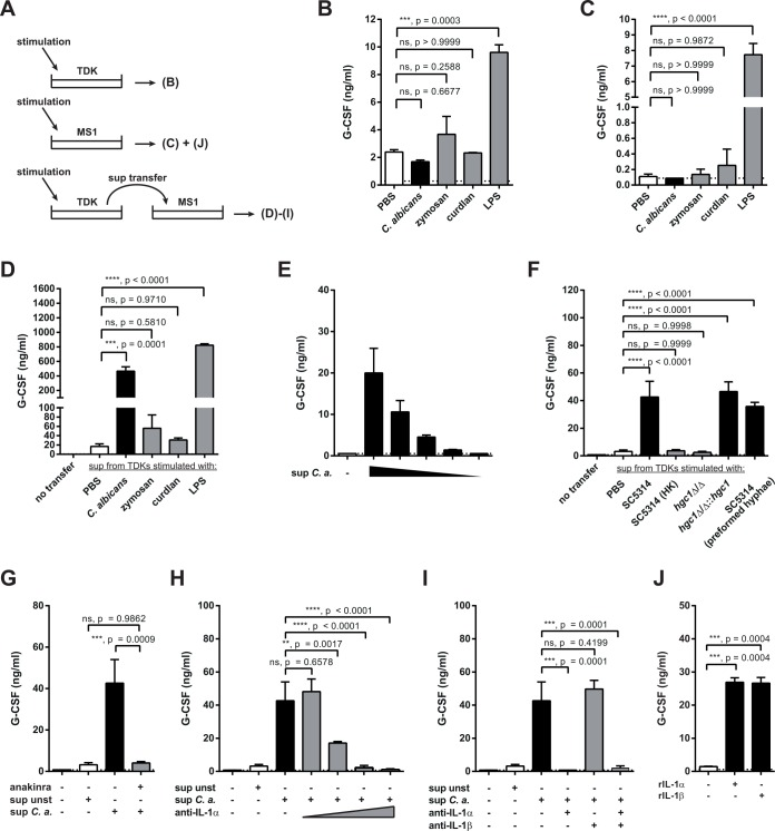 TDK-derived IL-1α induces G-CSF secretion by endothelial cells. ( A ) Schematic overview of the experimental setup used in panels B–J. ( B–J ) G-CSF levels in the supernatants of TDKs (B) and MS1 cells (C–J) were determined by ELISA 24 hours after stimulation. TDKs (B) and MS1 cells (C) were stimulated with C . albicans , zymosan, curdlan, LPS or left unstimulated (PBS) as indicated. ( D ) MS1 cells were stimulated with the supernatants of stimulated TDKs from (A) (diluted 3-fold in MS1 culture medium). ( E ) MS1 cells were stimulated with the serially diluted supernatant of C . albicans -stimulated TDKs. ( F ) MS1 cells were stimulated with the TDK supernatants from Fig 7C . ( G ) MS1 cells were pretreated with anakinra as indicated prior to the addition of the supernatant of C . albicans -stimulated TDKs. ( H—I ) The supernatant of C . albicans -stimulated TDKs was treated with anti-IL-1α and/or anti-IL-1β as indicated before being transferred to MS1 cells. ( J ) MS1 cells were treated with recombinant IL-1α, IL-1β, or left untreated. The conditions of G-CSF induction shown in (F–I) were measured all in one experiment but are displayed in several individual graphs for better comprehension. Data (B–J) are all representative of at least two independent experiments. Bar graphs show the group mean + SD. Statistical analysis was performed using one-way ANOVA with Dunnett's test.