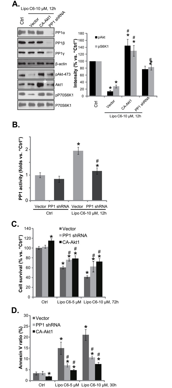"""Activation of PP1 is required for liposomal C6-induced anti-melanoma cell activity in vitro . Stable WM-115 cells expressing the pan PP1 shRNA, constitutively-activate mutant Akt1 (""""CA-Akt1""""), or empty vector (""""pSuper-puro"""") were treated with or without applied concentration of liposomal C6 ceramide (""""Lipo C6""""), expression of listed proteins was tested by Western blots (A); Relative protein phosphatase activity was shown (B); Cell survival (C), and cell apoptosis (D) were tested by MTT assay and Annexin V assay, respectively. Experiments were repeated three times, and similar results were obtained. Data were presented as mean ± SD. *p"""