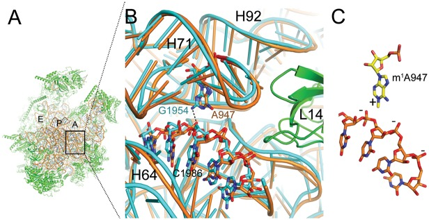 High structural conservation between S . scrofa mitoribosome and E . coli ribosome at position 947. ( A ) The structure of the porcine mitoribosomal large subunit (PDB accession code 4v1a and 4v19) shown from the subunit interface side. The ribosomal RNA is shown in brown and the ribosomal proteins in green. The ribosomal tRNA A-, P-, and E-binding sites are indicated. ( B ) Sticks-and-ribbon representation of interaction between helices H71 and H64 in S . scrofa (brown) mitoribosome or E . coli (turquoise) ribosome (PDB accession code 4ybb). The hydrogen bond that is likely disrupted by an adenine in position 947 is represented as a dashed line. ( C ) The positively charged m 1 A947 stabilizes the structure by interacting with the negatively charged H64 backbone. Numbers refer to the positions of E . coli ribosomal RNA.