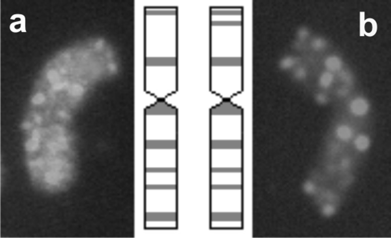 Idiogram and karyotype of two types of additional chromosomes of Ae . tauschii detected in the background of BC 2 F 5 and BC 2 F 6 hybrids of triticale showing genomic distribution of repetitive DNA sequence pAs1 ( red ). a Normal chromosome 2D, b chromosome 2D with rearrangement (color figure online)