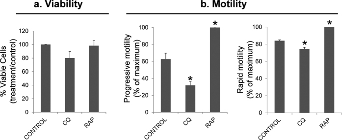 Effect of chloroquine and rapamycin on spermatozoa viability and motility. Sperm cells were incubated in presence of chloroquine (50 μM) and rapamycin (500 nM) for 2 hours at 37 °C. Further, cells were incubated with SYBR 14, propidium iodide (PI) and Hoechst 33342 and examined by flow cytometry (described in material and methods). Sperm motility was assessed by CASA. ( a ) graphic shows the percentage of SYBR 14 positive and PI negative cells and results are expressed as the increase respect to control ± SEM (containing vehicle) (n = 6); ( b ) figures represent the percentage of spermatozoa with progressive and rapid motility. Results are represented as percentage of maximum ± SEM (n = 4). Columns with asterisk indicate significant differences (P