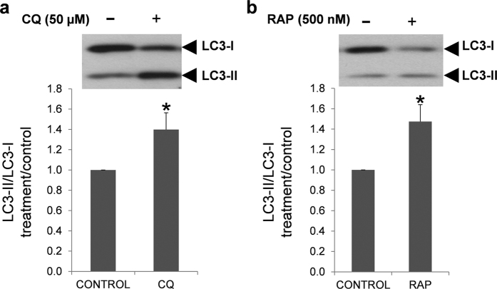 Effect of chloroquine and rapamycin on LC3-I and LC3-II expression. Human spermatozoa were incubated for 2 hours at 37 °C in presence or absence of chloroquine ( a ) and rapamycin ( b ). Proteins were extracted and resolved by SDS_PAGE. Immunoblotting was performed with anti-LC3 antibody (described in materials and methods section). Results are expressed as increase of LC3-II/LC3-I ratio respect to control samples (containing only vehicle). Columns with asterisk indicate significant differences (P