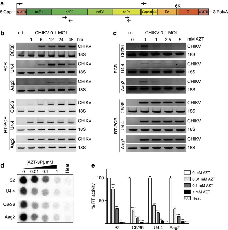 Mosquito cells produce host reverse transcriptase-dependent arbovirus-derived DNA. ( a ) Schematic of CHIKV viral genome. Top arrows indicate the position of the genomic and subgenomic promoters. Bottom arrows indicate the position of the primers used for vDNA detection. ( b ) Kinetics of vDNA synthesis. C6/36, U4.4 and Aag2 cells were infected with CHIKV at a MOI of 0.1 and cells were harvested at the indicated time points. Cells were analysed by <t>PCR</t> (upper panel) for vDNA detection. RT-PCR (lower panel) was used to follow viral infections. Non-infected cells (n.i) were used as a negative control and cellular 18S rRNA was used as a housekeeping gene loading control. ( c ) AZT inhibits vDNA synthesis in vitro . C6/36, U4.4 and Aag2 cells were treated with increasing concentration of AZT for 2 days. At the indicated time point, cells were harvested and vDNA and <t>RNA</t> were assessed as described in b . ( d – e ) Endogenous reverse transcriptase activity in insect cells. ( d ) Dose-dependent AZT inhibition was tested in insect cell extracts and ( e ) quantification of reverse transcriptase inhibition expressed as an activity percentage of non-treated extracts. Heat inactivated samples (heat) were used as negative controls. Drosophila S2 cells were used as a positive control. Each experiment was completed at least 3 times. Error bars correspond to the s.d. t -test with Welch's correction was used to determine statistical significance compared with the untreated control as a reference (** P