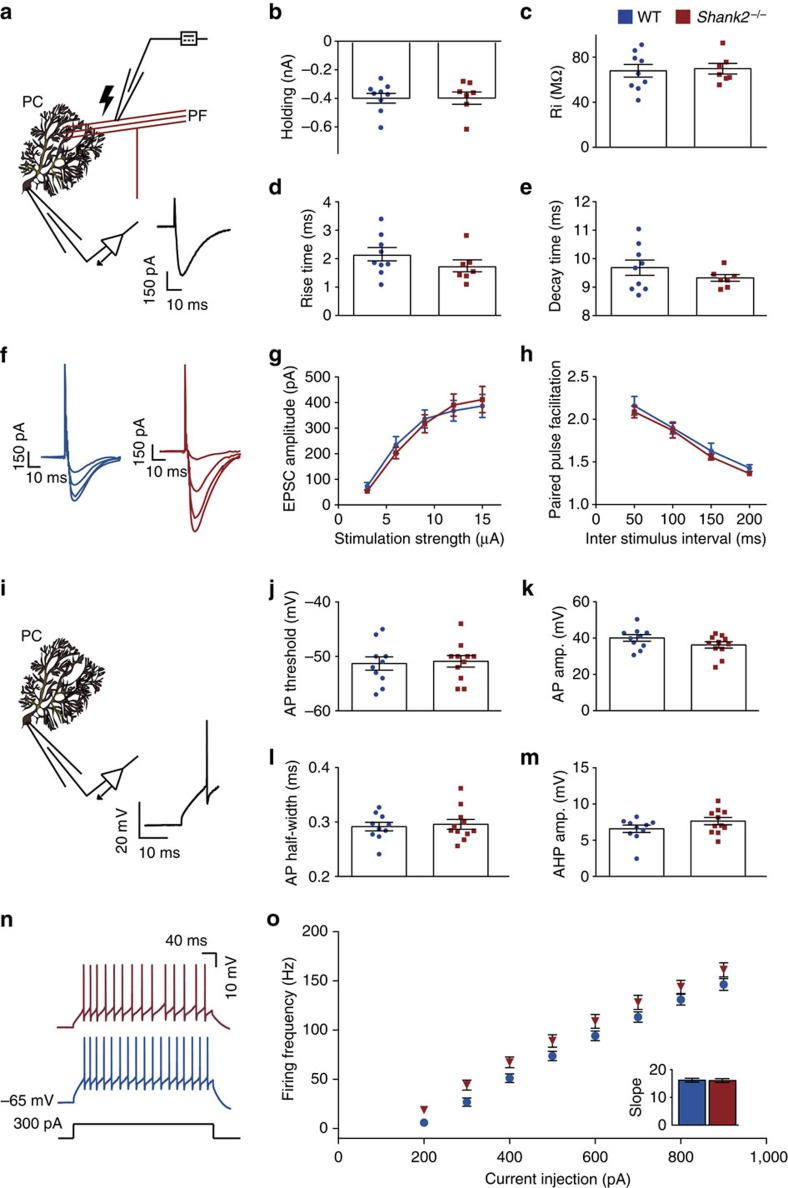 No changes in excitatory synaptic and intrinsic properties in Shank2 −/− Purkinje cells ex vivo . ( a ) <t>Recording</t> configuration for <t>voltage-clamp</t> recordings of PF–PC synaptic transmission. Inset: an example PF-EPSC. ( b – e ) With comparable holding current (at −65 mV) ( P =1) and input resistance (Ri) ( P =0.8), PC EPSC rise time ( P =0.2) and EPSC decay time ( P =0.3) are not different between WT ( n =9/6, cells per animals) and Shank2 −/− ( n =7/6). ( f ) Example EPSCs in response to 3, 6, 9, 12 and 15 μA stimulation. ( g , h ) Varying stimulation strength ( P =0.9, repeated-measures ANOVA) and inter-stimulus interval ( P =0.2, repeated-measures ANOVA) evoked comparable EPSC amplitude or facilitation (WT, n =11/3; Shank2 −/− 15/3). ( i ) Recording configuration for <t>whole-cell</t> recording. Inset: an example action potential. ( j – m ) Action potential threshold ( P =0.8), amplitude ( P =0.1), half-width ( P =0.7) and after-hyperpolarization ( P =0.2) were not different (WT, n =10/6; Shank2 −/− , n =11/6). ( n ) Example traces of intrinsic Purkinje cell excitability as apparent from action potential firing evoked by 300 pA current injections. ( o ) No difference in evoked firing frequency relative to various levels of current injections (WT, n =10/5; Shank2 −/− , n =11/5, P =0.1, repeated-measures ANOVA). Inset barplot shows average slope of firing rate per current step ( P =1). Data are represented as mean±s.e.m. Two-sided t -tests were used, unless stated otherwise.