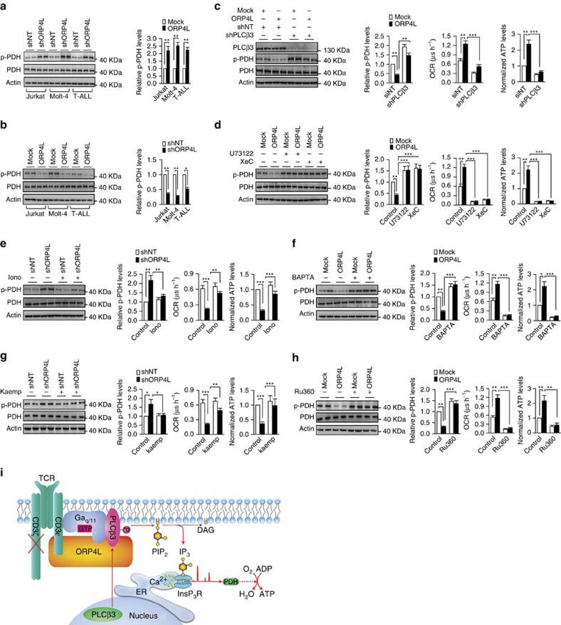 ORP4L sustains Ca 2+ -dependent bioenergetics in T-ALL cells. ( a , b ) Western blot analysis of PDH activation in Jurkat, Molt-4 and primary T-ALL cells with ORP4L knockdown ( a ) and overexpression ( b ). p-PDH/PDH expressed as fold change over control. ( c ) PDH activation (left), OCR (middle) and ATP levels (right) in Jurkat T-cells with ORP4L knockdown alone or in combination with shPLCβ3. ( d ) PDH activation (left), OCR (middle) and ATP levels (right) in control or ORP4L overexpressing Jurkat T-cells treated with or without U73122 (5 μM for 1 h) or XeC (2 μM for 1 h). ( e ) PDH activation (left), OCR (middle) and ATP levels (right) in control or ORP4L knockdown Jurkat T-cells treated with or without ionomycin (2 mg l −1 for 1 h). ( f ) PDH activation (left), OCR (middle) and ATP levels (right) in control or ORP4L overexpressing Jurkat T-cells treated with or without BAPTA-AM (50 μM for 1 h). ( g ) PDH activation (left), OCR (middle) and ATP levels (right) in control or ORP4L knockdown Jurkat T-cells treated with or without MCU agonist, kaempferol (2 μM, 30 min). ( h ) PDH activation (left), OCR (middle) and ATP levels (right) in control or ORP4L overexpressing Jurkat T-cells treated with or without MCU inhibitor, RU360 (5 μM, 30 min). The data represent mean±s.d. value from an experiment performed in triplicate. * P