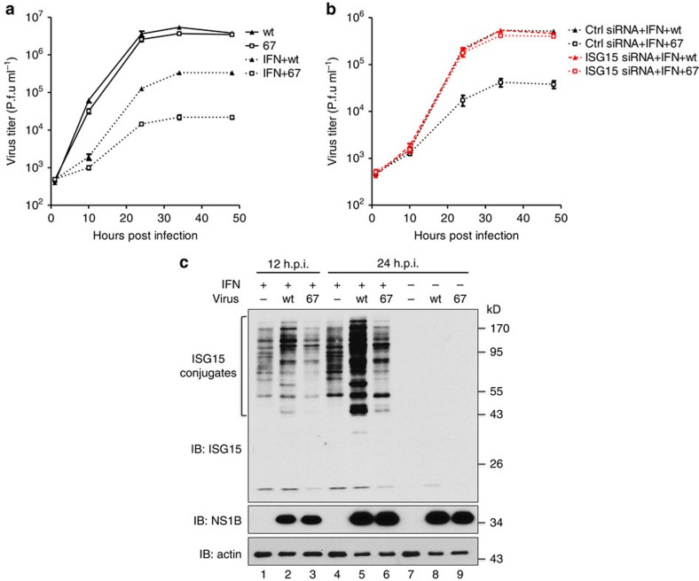 The NS1B protein does not inhibit IFN-β-induced ISGylation in influenza B virus-infected cells. ( a ) Multiple cycle growth curves of wt and 67 mutant virus in A549 cells with or without IFN-β pretreatment. Where indicated, A549 cells were treated with 1,000 IU ml −1 of human IFN-β for 18 h before virus infection. Cells were infected with 0.1 p.f.u. per cell of wt virus or 67 mutant virus. Error bars show the s.d. of triplicate assays of virus titers at the indicated times of infection determined by plaque assays in MDCK cells. ( b ) The effect of siRNA knockdown of ISG15 on the multiple cycle growth of wt and 67 mutant virus in IFN-β pretreated A549 cells. Where indicated, ISG15-specific siRNA was transfected into cells for 24 h before IFN-β treatment. The efficiency of the ISG15-specific siRNA in inhibiting ISGylation is shown in Fig. 4a , lanes 5 and 6. Error bars show the s.d. of triplicate assays of virus titers at the indicated times of infection. See also ( Supplementary Fig. 1a,b ). ( c ) The effect of wt and 67 mutant virus on IFN-β-induced ISGylation. A549 cells were treated with 1,000 IU ml −1 of human IFN-β for 12 h or were not treated with IFN. Cells were then either mock infected, or infected with 5 p.f.u. per cell of wt or 67 mutant virus. Cell extracts isolated at indicated times after infection or mock infection were analysed by immunoblots probed with the indicated Abs.