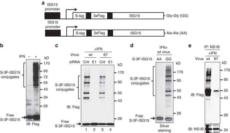 The wt NS1B protein, but not the 67 mutant NS1B protein, binds and sequesters ISG15 conjugates in IFN-β-pretreated influenza B virus-infected cells. ( a ) Schematic representation of the two IFN-β-inducible, S-3F-tagged ISG15 sequences inserted into A549 cells. ( b ) S-3F-ISG15 A549 cells were either untreated or treated with 1,000 IU ml −1 of human IFN-β for 24 h. Cell extracts were analysed by immunoblots probed with Flag Ab. ( c ) S-3F-ISG15 A549 cells were transfected with control (ctrl) siRNA or E1(UbelL)-specific siRNA for 24 h, followed by treatment with 1,000 IU ml −1 of human IFN-β for 12 h. Cells were then infected with 10 p.f.u. per cell of either wt or 67 mutant virus for 18 h. Cell extracts were analysed by immunoblots probed with Flag Ab. ( d ) S-3 F-ISG15 mut or wt cells were treated with 1,000 IU ml −1 of human IFN-β for 16 h, and then infected with 10 p.f.u. per cell of wt virus for 24 h. Denatured cell extracts were subject to double-affinity purification using anti-Flag M2 agarose and S-protein agarose. The purified proteins were detected by silver staining after SDS page. ( e ) The cell extracts that were analysed in lanes 1 and 3 of panel c were instead immunoprecipitated with NS1B Ab, and the immunoprecipitates were then analysed by immunoblots probed with Flag Ab and NS1B Ab.