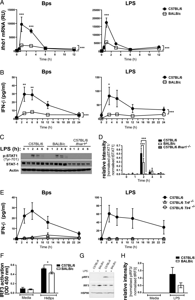 TLR4-dependent IFN-β production and STAT1 and IRF3 activation are higher in C57BL/6 compared with BALB/c macrophages. BMDMs were stimulated with B. pseudomallei or LPS for the indicated times. ( A ) Ifnb1 mRNA expression was determined by qRT-PCR and normalized to Hprt1 mRNA expression. ( B ) IFN-β production was quantified by ELISA. ( C ) Whole-protein extracts were generated and analyzed by Western blot for total and phosphorylated STAT1, and actin loading control. ( D ) Relative intensity of two independent experiments shown for data represented in (C). ( E ) IFN-β production was quantified by ELISA. ( F ) C57BL/6 and BALB/c macrophages were stimulated with B. pseudomallei for 2 h, and nuclear extracts were analyzed for active IRF3 by ELISA. ( G ) Whole-protein extracts were generated and analyzed by Western blot for total and phosphorylated IRF3 and heat shock protein 90 loading control. ( H ) Relative intensity of three independent experiments shown from data in (G). Graphs show means ± SEM of two to four (E) or at least three independent experiments (A and B). * p