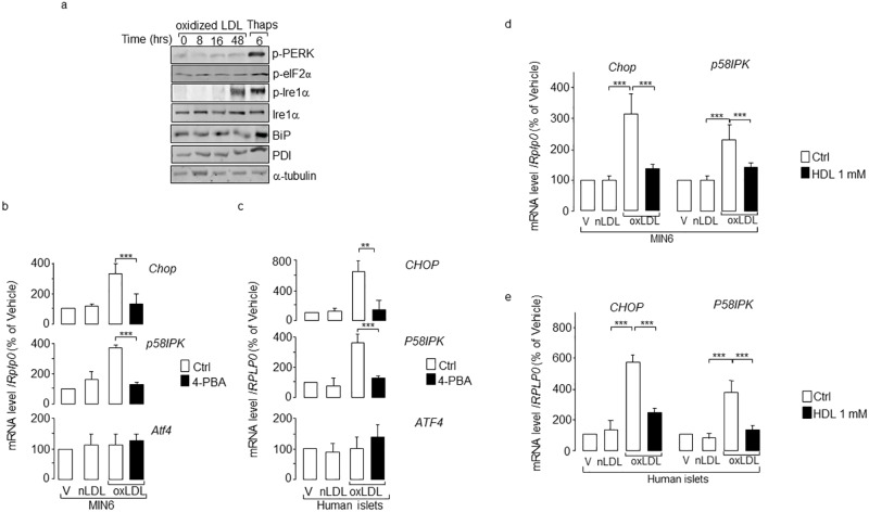 Activation of ER stress by human oxidized LDL. (a) Western blotting analysis comparing changes in PERK, eIF2 and Ire1α and their phosphorylated forms (p). Total proteins were prepared from MIN6 cells cultured with 2 mmol/l cholesterol oxidized LDL (oxLDL) for the indicated times and 1 μmol/l <t>thapsigargin</t> (Thaps) for 6 h. The α-tubulin protein served as loading control. The figure is a representative experiment out of three. Measurement of CHOP / Chop , P58IPK / p58IPK and ATF4 / Atf4 mRNA levels in ( b) and (d) MIN6 and ( c) and (e) isolated human islets cells cultured with oxidized LDL. The mRNA level was quantified by quantitative real-time PCR in MIN6 or isolated human islets cells cultured for 48 h with vehicle (V), native (nLDL) or oxidized LDL (oxLDL). The PBA chemical chaperone 2.5 mmol/l were added in the cells cultured with oxidized LDL (oxLDL, filled bar ). For d ) and e ), cells were cultured with oxidized LDL plus 1 mmol/l cholesterol HDL ( filled bar ). The mRNA level was normalized against the housekeeping acidic ribosomal phosphoprotein P0 gene ( RPLP0 / Rplp0 ) and the expression levels from cells cultured with vehicle were set to 100%. Data are the mean of ± SEM of 3 independent experiments performed in triplicate (***, P