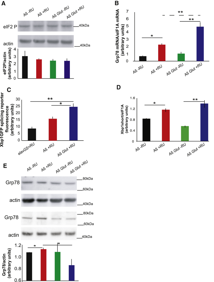 UPR Components Activated in Aβ-Expressing Flies Are Induced Even Further by Glut1 Overexpression (A) Western blot of eIF2 phosphorylation levels in heads of Aβ- and AβGlut1-expressing flies (+RU) and in controls (-RU), showing no significant difference. Bottom: plotted as means ± SEM (n = 3). Top: a representative gel from the same samples. (B) Grp78 mRNA levels in heads of 18-day-old flies expressing Aβ or Aβ Glut1 in neurons (+RU) and uninduced controls (-RU), measured by qPCR (relative to eIF1A), plotted as means ± SEM. Genotypes: UAS Aβ; elavGS , UAS Aβ/UAS Glut1; elavGS . (C) Quantification of GFP fluorescence in fly brains expressing an Xbp1GFP splicing reporter, plotted as means ± SEM (n = 6–13). Genotypes: elavGS/UAS-Xbp1GFP , UAS Aβ; elavGS/UAS-Xbp1GFP , UAS Aβ/UAS Glut1; elavGS/UAS-Xbp1GFP . (D) Spliced Xbp1 mRNA levels in heads of 18-day-old flies expressing Aβ or Aβ Glut1 in neurons (+RU) and uninduced controls (-RU), measured by qPCR (relative to eIF1A), plotted as means ± SEM (E) Western blot of Grp78 in 14-day-old flies of the same genotypes, plotted below as means ± SEM (n = 6–16). The image is a representative gel of the same samples. Genotypes: UAS Aβ; elavGS , UAS Aβ/UAS Glut1; elavGS . ∗ p ≤ 0.05; ∗∗ p ≤ 0.01, by ANOVA. See also Figure S2 .