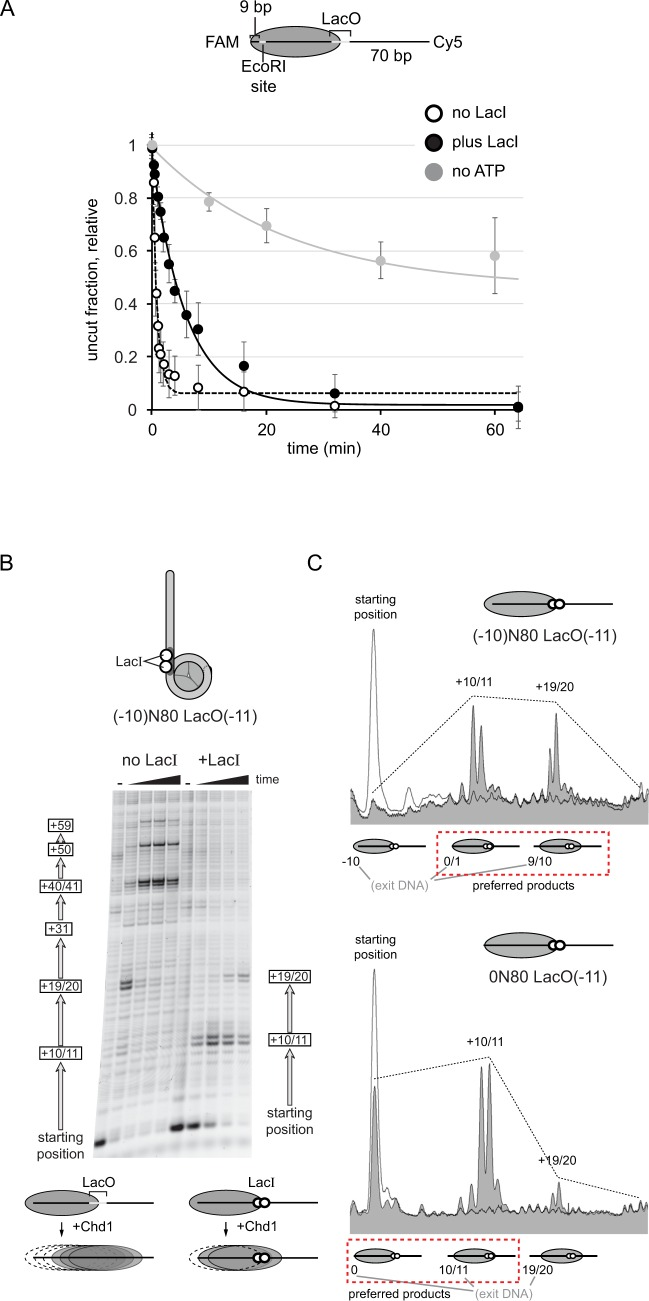 Exit side DNA defines the extent that Chd1 slides nucleosomes in the presence of Lac repressor. ( A ) Nucleosomes are dynamically shifted back-and-forth by Chd1 in the presence of LacI. End-positioned 0N70 nucleosomes containing a LacO(−11) site on the 70 bp side and an EcoRI cut site just inside the 0 bp side were digested by EcoRI and monitored by SDS-PAGE. The slower rate of digestion in the absence of ATP (gray) demonstrates that the EcoRI site is initially buried. In the presence of Chd1 and ATP, the same fraction of nucleosomal DNA becomes cleaved in the presence (filled circle) or absence (open circle) of LacI, demonstrating dynamic repositioning by Chd1 in the presence of LacI. Based on single exponential fits to the data, the sliding rate in the presence of LacI was calculated to be 7-fold slower than in the absence of LacI. Error bars indicate the standard deviations from five or more independent experiments. ( B ) Comparison of nucleosome sliding reactions carried out in the absence and presence of LacI, using (−10)N80[LacO-11R] substrates. Time points for these experiments were 0, 1, 4, 16, 64 min. ( C ) Comparison of the preferred distributions of nucleosome positions for 0N80 and (−10)N80 nucleosomes when Chd1 sliding was carried out in the presence of LacI. White peaks show zero time points and gray peaks are the nucleosome positions at 64 min time points.