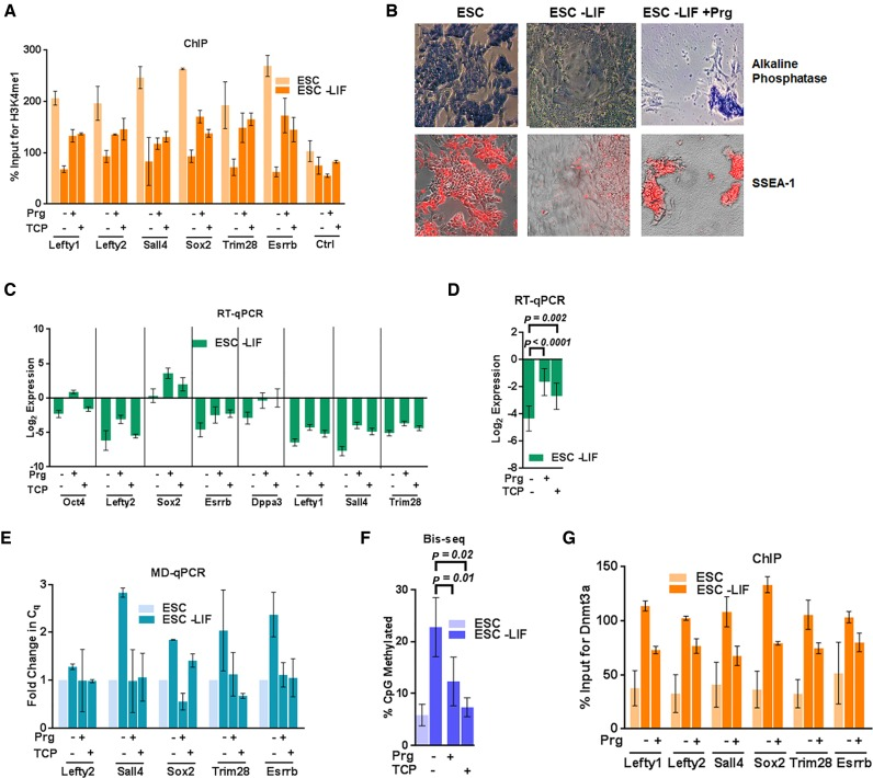 Lsd1 inhibition restricts establishment of DNA methylation at PpG enhancers by Dnmt3a. ESC: undifferentiated embryonic stem cells, and ESC-LIF: Cells induced to differentiate. ( A ) ChIP-qPCR was used to determine the percent enrichments of H3K4me1 at the PpG enhancers in ESC and cells 7 days post- induction of differentiation in absence and presence of Lsd1 inhibitors, Prg: Pargyline, TCP: Tranylcypromine. ( B ) Alkaline phosphatase staining (blue) and SSEA-1 immunofluorescence (red) in ESCs and cells 9 days post induction of differentiation in absence and presence of pargyline, where positive staining indicates pluripotency. ( C ) Gene expression analysis of PpGs using RT-qPCR in ESCs and cells 9 days post induction of differentiation in absence and presence of Lsd1 inhibitors. Gene expression is normalized to Gapdh and represented relative to ESC. ( D ) Average expression change with SEM across all loci shown in C; ( E ) DNA methylation analysis of the PpG enhancers in ESCs and cells 5 days post induction of differentiation in absence and presence of pargyline and TCP was assayed by MD-qPCR as in Figure 1A . ( F ) Bis-seq was used to determine the extent of CpG methylation (details same as Figure 1B ) and the data are the average and SEM of 6 PpG enhancers shown in E. ( G ) Percent enrichment of Dnmt3a using ChIP-qPCR at PpG enhancers in ESC and cells 7 days post-induction of differentiation in absence and presence of Lsd1 inhibitors. For D and F, P -values are derived from Student's paired t -test using GraphPad Prism. For A, C, E and G average and SD are shown for each gene.