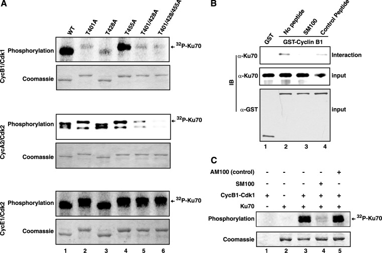 Ku70 is phosphorylated by cyclin-Cdks in a Cy-motif dependent manner. ( A ) The wild type and mutant (Thr to Ala, as indicated) Ku70 proteins were used in [γ- 32 P]ATP-based kinase assays with the cyclin-Cdks as marked. For each set of assays, the presence of equal amounts of Ku70 protein was ascertained by Coomassie blue staining of the reaction mixtures. The radioactive Ku70 bands due to incorporation of 32 P are indicated. ( B ) GST or GST-cyclin B1 bound to glutathione sepharose beads were incubated with purified Ku70 protein either in absence of any peptide (lanes 1 and 2), or in presence of 150 μM competitor SM100 peptide (lane 3) or control AM100 peptide (lane 4). The pulled-down complexes were analyzed by immunoblotting with antibodies against Ku70 (interaction) and GST (input). The presence of equivalent amounts of Ku70 protein in interaction mixtures were checked by anti-Ku70 immunoblotting (input). ( C ) HsKu70 was used as substrate in [γ- 32 P]ATP based kinase assay with cyclin B1–Cdk1 in the absence or presence of 150 μM of the indicated peptides.