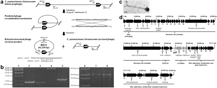 Identification and excision of phage φ6013 from the genome of C. pasteurianum . ( a ) Predicted excision mechanism of phage φ6013 from the genome of C. pasteurianum . Phage excision was induced by exposing exponential phase cultures of C. pasteurianum to 5 μg ml −1 mitomycin C, leading to recombination between attL and attR sites. Sequences corresponding to the core attL and attR φ6013 recombination sites are shown in uppercase. The resulting attP sequence of phage φ6013 is compared to the similar 12 nt core attP site of phage φ3626 from C. perfringens . Prophage excision leads to a circular 42,250 bp phage genome and a single attB scar site within the genome of C. pasteurianum . PCR primers for screening attL , attR , attP , and attB recombination sites are shown, as well as screening primers for long range PCR of the circular excised φ6013 genome. Genomes, genomic regions, and PCR primers are not depicted to scale. ( b ) PCR verification of phage φ6013 excision from the C. pasteurianum chromosome. Orientation and arrangement of PCR primers are depicted in Fig. 1a. Lane 1: marker; lane 2: 904 bp attL product (attLB.S + attL.AS); lane 3: 872 bp attR product (attRP.S + attRB.AS); lane 4: 3,154 bp attP product (attRP.S + attP.AS); lane 5: 1,076 bp attB product (attLB.S + attRB.AS); lane 6: long range PCR marker; lane 7: 22,756 bp 5′ φ6013 product (φ6013.S + attP.AS); lane 8: 22,678 bp 3′ φ6013 product (attRP.S + φ6013.AS). ( c ) Transmission electron microscopy image of phage φ6013 visualized at 245,000× magnification. ( d ) Genomic arrangement of phage φ6013 (42,250 bp). All 52 predicted genes, including some functional assignments, are depicted and are numbered consecutively. Genes in black and grey depict different directions of transcription. The predicted phage attachment site ( attP ) described in the main text is shown. All genes and intergenic regions are depicted to scale.