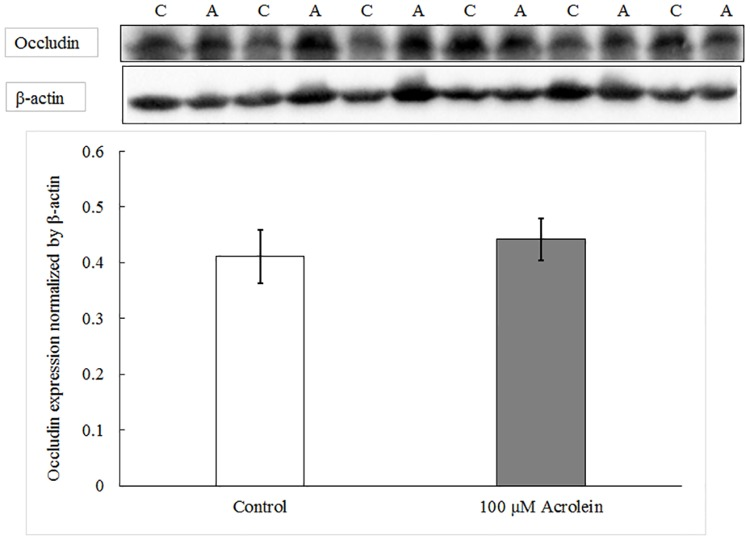 """Western blot analysis of <t>occludin</t> protein with or without acrolein exposure. Data represent Mean ± SE, n = 6, p = 0.337 as compared to controls. """"C"""" represents control group and """"A"""" represents acrolein treated group."""