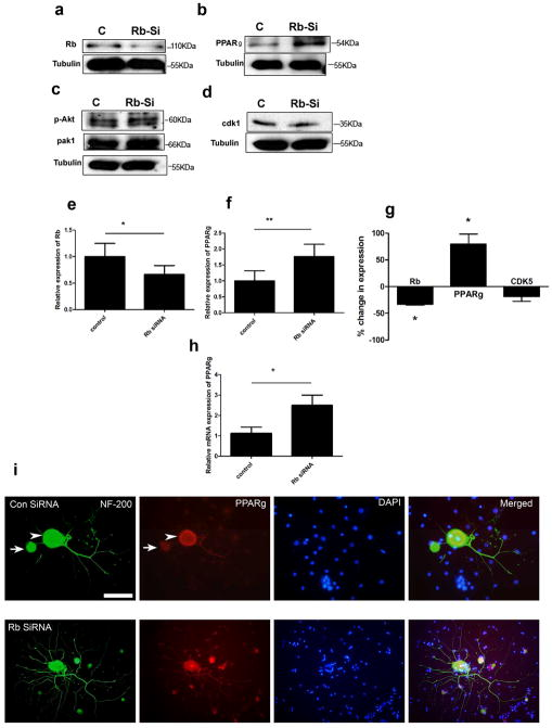 Knockdown of Rb1 increases the expression of PPARγ Rb1 siRNA is associated with knockdown of Rb1 protein in dissociated adult sensory neurons (a) and a rise in PPARγ expression (b) without changes in p-Akt, Pak1 or CDK5 (c,d) . Quantitation of western blot data showing declines in Rb (e) [ *p