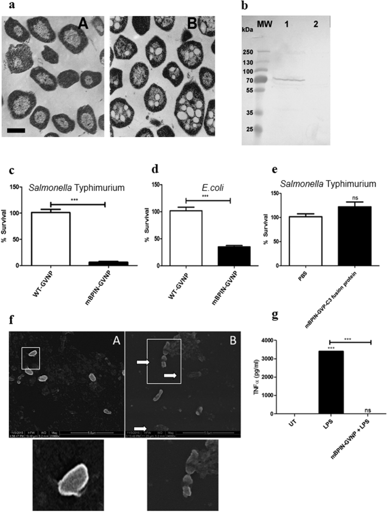 Expression of GvpC-mBPI N fusion protein in haloarchaeal gas vesicle nanoparticles and its antibacterial and anti-inflammatory activity. ( a ) Thin-sections of Halobacterium sp. observed by transmission electron microscopy Panel A. Strain SD109 with a deletion of the gvp gene cluster and lacking GVNPs. Panel B. Strain SD109 transformed with a plasmid containing the entire gvp gene cluster producing buoyant GNPVs. Bar in Panel A indicates 0.5 um length (for both panels) ( b ) Halobacterium sp. NRC-1 (pDRK-C3-mBPI) BPI-GVNPs were produced and purified by floatation of the GVNP particles using the accelerated centrifugation and expression of GvpC-mBPINfusion protein was confirmed by Western blotting using a 1:1000 dilution of anti-His-tag primary antibody. Lane 1: <t>mBPIN-GVNPs,</t> Lane 2: WT-GVNPs. 10 6 Salmonella Typhimurium 14028 ( c ) and E. coli ( d ) were incubated with WT-GVNPs (White Bars) or mBPIN-GVNPs (Black Bars) for 2 hours at 37 °C. Cells were plated on LB agar and incubated at 37 °C overnight. Percent survival values are plotted and are means of triplicate assays. (n = 3 experiments) ( e ) 10 6 Salmonella Typhimurium 14028 were incubated with PBS (White Bars) or mBPIN-GVP-C3 fusion protein (Black Bars) for 2 hours at 37 °C. Cells were plated on LB agar and incubated at 37 °C overnight. Percent survival values are plotted and are means of triplicate assays. (n = 3 experiments) ( f ) 10 6 Salmonella Typhimurium 14028 were incubated with WT-GVNPs (Panel A) or mBPIN-GVNPs (Panel B) for 2 hours at 37 °C. Cells were fixed and observed by scanning electron microscopy. White arrow indicates membrane damage and leakage of cytosolic contents in bacteria incubated with mBPIN-GVNPs. Inserts were magnified to show cell morphology of WT-GVNP treated and mBPIN-GVNP treated bacteria. ( g ) <t>PBMCs</t> were treated with LPS (10 ng) or with LPS (10 ng) preincubated with mBPIN-GVNP. 24 h post treatment, supernatant was collected and TNFα levels were measured by ELISA. T