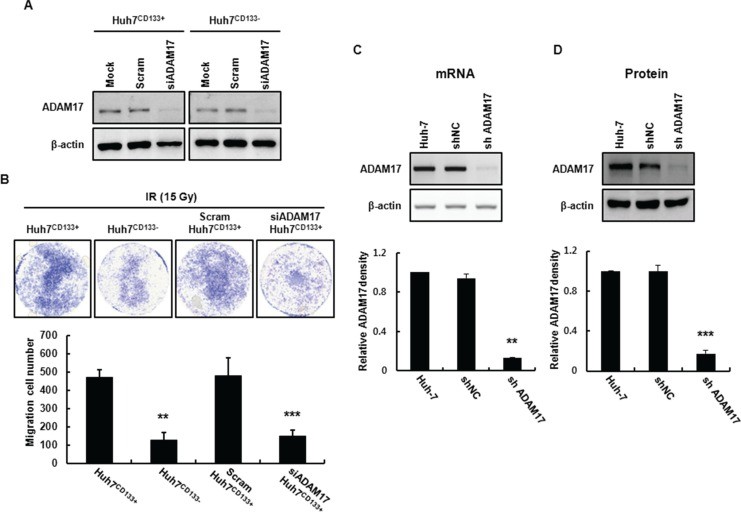 Establishment of an ADAM17-knockdown cell line using a lentiviral expression system ( A ) ADAM17 mRNA expression in Huh7 CD133+ and Huh7 CD133− cells at 24 h determined by RT-PCR following transfection of ADAM17 siRNA. ( B ) Transwell migration assays of Huh7 CD133+ , Huh7 CD133− , scram siRNA Huh7 CD133+ and ADAM17 siRNA Huh7 CD133+ cells after 15- Gy irradiation. Images were captured at 48 h under × 40 magnification. The numbers of migrated Huh7 CD133+ , Huh7 CD133− , scram siRNA Huh7 CD133+ and ADAM17 siRNA Huh7 CD133+ cells were compared. ** P